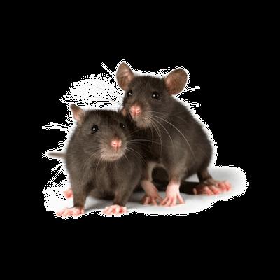 lassa fever rats